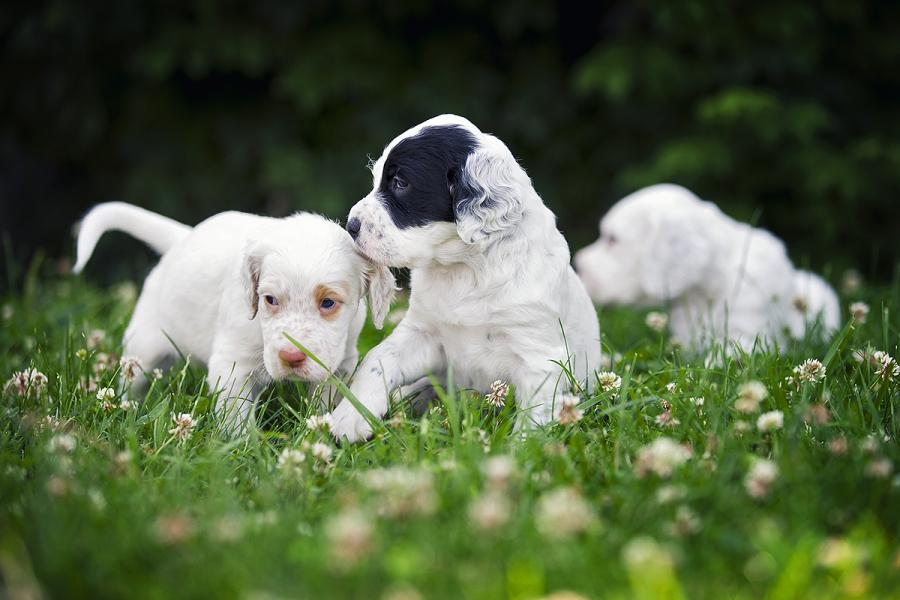 English Setter Puppies For Sale New Jersey