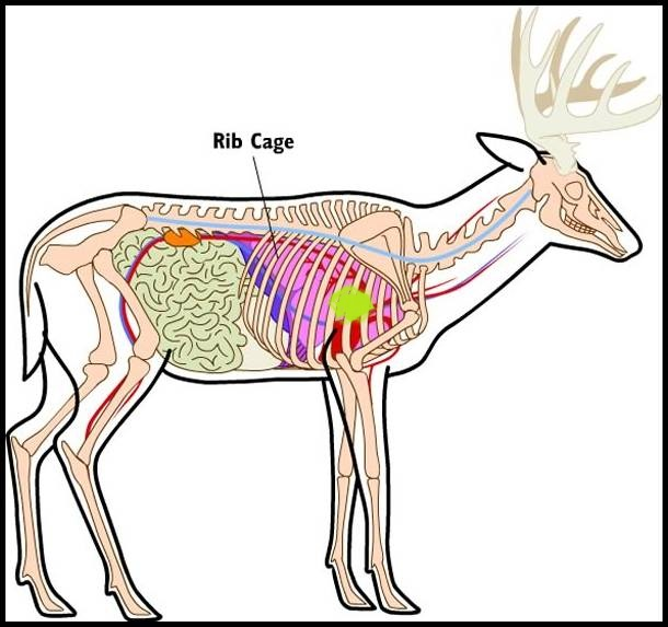 Deer Hunting Shot Placement: See a Whitetail Deer\'s Heart, Lungs and ...