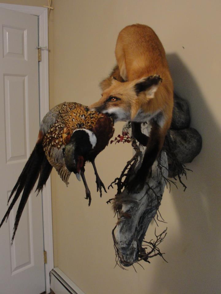 Name:  FOX PHEASANT.jpg Views: 4485 Size:  56.5 KB