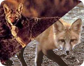 Name:  foxcoyotecontrol_zps31a4128e.jpg Views: 2116 Size:  20.8 KB