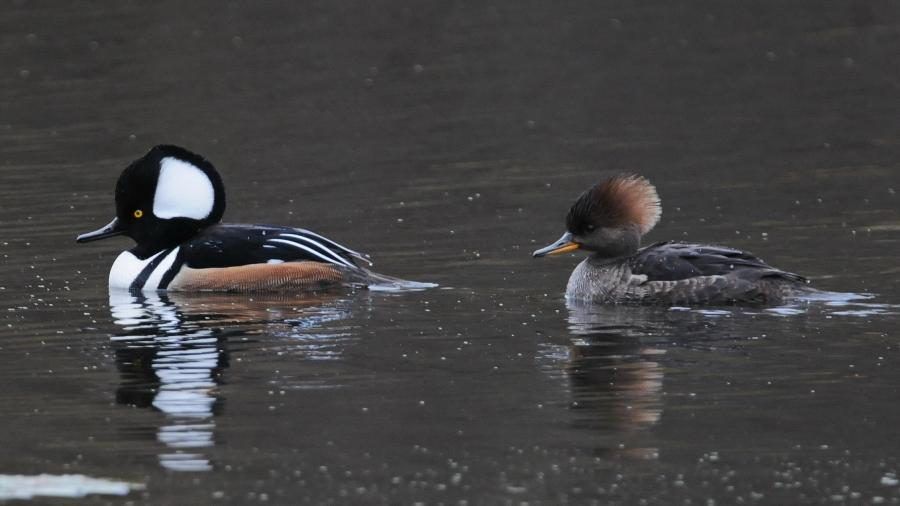 Thread: Hooded Merganser today in New Jersey
