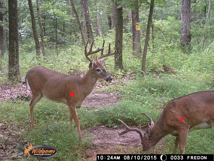 how to find a gut shot deer